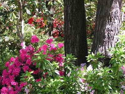 Azaleas In The Camellia Garden