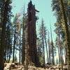 Washington Tree