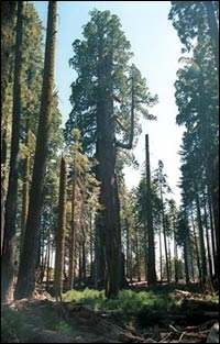 Washington Tree In 1999