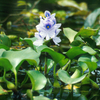 Infestation Of Loktak Lake By Water Hyacinth