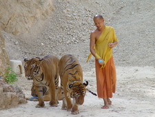 Monk And Tigers Walking