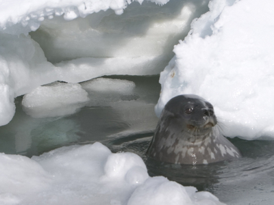 Weddell Seal At Erebus Ice Tongue