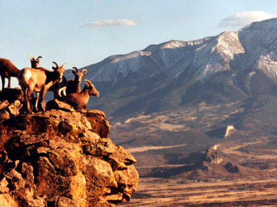Sunset Shot Of Some Bighorn Sheep
