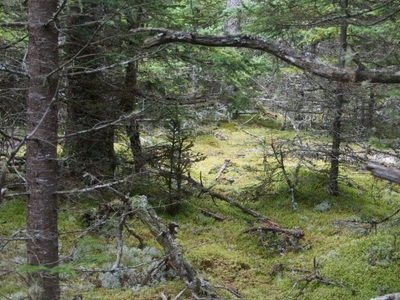 Wet Forest In  Isle Au  Haut