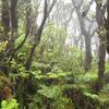 Wet Forest Of Kohala Mountain