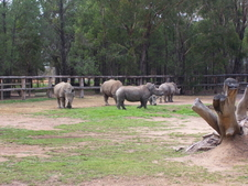 Whiterhino At Taronga Western Plains Zoo