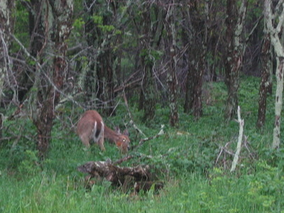 A White-Tailed Deer As Seen From Car