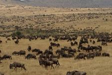 Wildebeest Migration Wildlife Safaris Tanzania