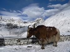 Yak At Gokyo Lake - Nepal