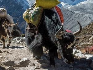Yak Caravan Near Everest Base Camp