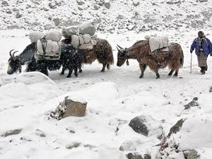 Yak Caravan On Everest Trail