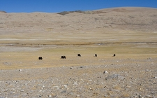 Yaks Grazing Near Lachen - North Sikkim