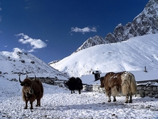 Yaks In Gokyo Beside Dudh Pokhari Lake - Nepal Annapurnas