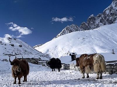Yaks In Gokyo Landscape - Nepal Himalayas