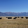 Yaks & Sangre De Cristo Mountains CO