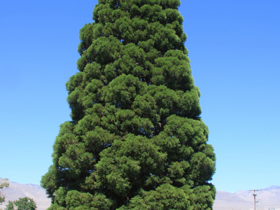 Young Giant Sequoia  Sequoiadendron Giganteum In  Big  Pine  C