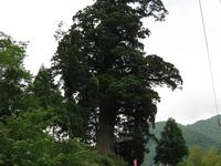 Houkisugi At Nakagawa