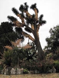 Yucca Filifera Monaco
