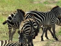Serengeti National Park Safari, Zebra
