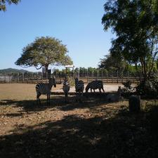 Zebras At Caluit
