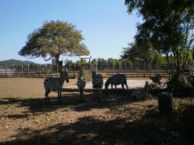 Zebras At Caluit