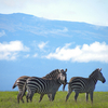 Zebras In Conservancy Kenya