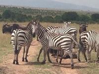Zebras In Kenya Safari