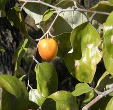 Zizyphus Mauritiana Fruit