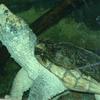 Zoo Atlanta In Alligator Snapping Turtle
