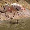 Zoo Atlanta In Chilean Flamingo