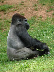 Zoo Atlanta In Western Lowland Gorilla