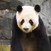 Zoo Atlanta Panda