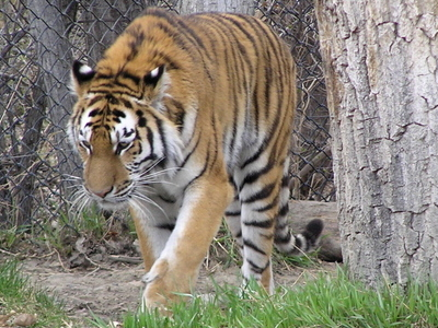 Zoo Montana  Tiger