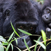 Thousand Hills Safari - Uganda and Rwanda