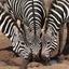Safari Buddy