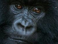 Special Gorilla Trek in the Virunga National Park