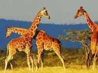 Safari - Hakuna Matata