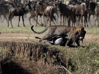 Serengeti National Park A Million Wildebeest... Each One Driven By The Same Ancient Rhythm, Fulfilling Its Instinctive Role In The Inescapable Cycle Of Life: A Frenzied Three-week Bout Of Territorial Conquests And Mating; Survival Of The Fittest As 40km (