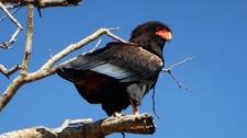 Bateleur Eagle On A Tree.