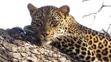 Leopard Lying In The Tree.
