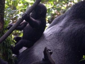 Rwanda Gorilla Safari Fotos