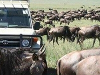 The Great Wildbeest Migration
