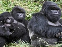 6 days Gorilla trekking and Mountain Volcanoes National Park