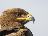 Steppe Eagle. Migrants Birds That Occurs In Tanzania Seasonally. We Get Good Time Watching These Birds In Rainy Season As In Flocks Feed On Insects And Other Small Vertebrates