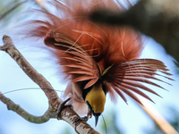 Bird Of Paradise Tour In Papua New Guinea