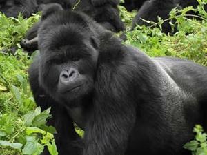 Gorilla Discovery - Uganda & Rwanda Fotos