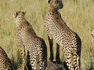 Masai Mara and Nakuru Safari Photos