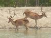 Sundarban Deer 9531674566