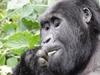 Tracking Mountain Gorillas in Rwanda