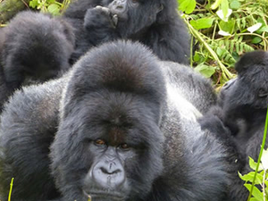 Gorilla Express Tour Fotos